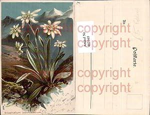 487165,Litho Gnaphalium Leontopodium Edelweiß Alpenflora Blumen