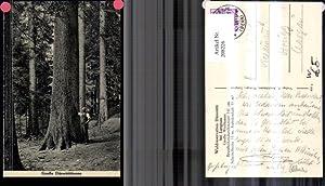 208226,Langnau Waldreservation Dürsrütti Große Weißtanne Tanne m.
