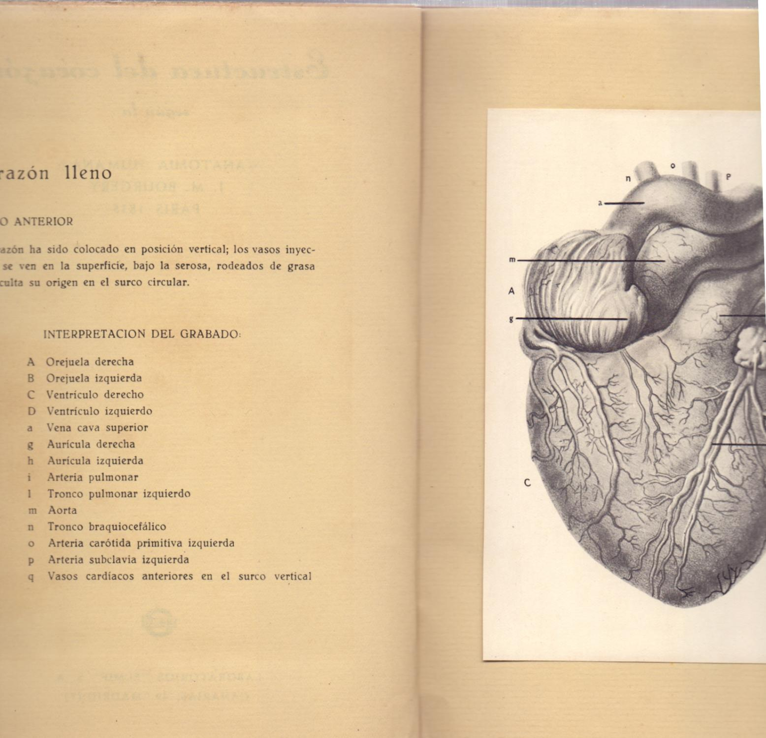 Estructura Del Corazon Segun La Anatomia