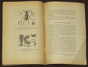 """Los Mayates O """"Frailecillos De Maíz"""" (Macrodactylus SP): Inda, Julio Riquelme"""
