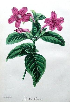 RUELLIA LILACINA, Holden Paxton,Antique Flower Botanical Print