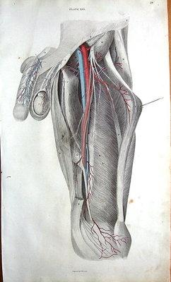 BLOOD VESSELS,NERVES OF THIGH & MALE ANATOMY Lizars Antique Anatomy Print c1825