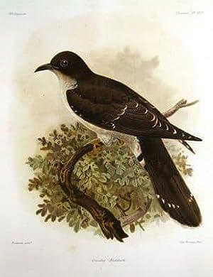 THICK BILLED CUCKOOCUCULUS AUDEBERTi KEULEMANS ANTIQUE BIRD