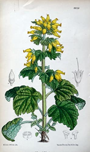 SCROPHULARIA YELLOW FIGWORT J. Fitch Antique Botanical Vintage Flower Print 1882