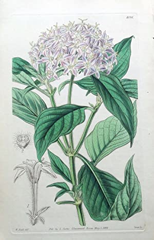 PENTAS CARNEA CURTIS W.H.Fitch Antique Lithographed Botanical Flower Print 1844