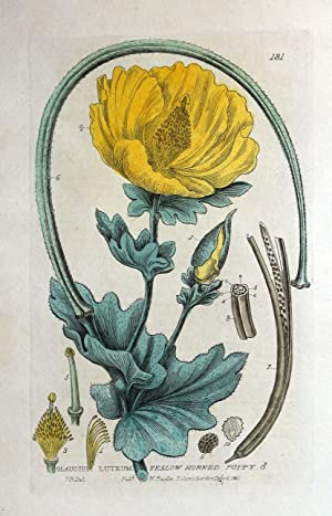 YELLOW HORNED POPPY Baxter Original Antique Engraved Botanical Flower Print 1835