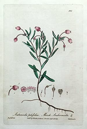 WILD ROSEMARY ANDROMEDA Baxter Antique Engraved Botanical Flower Print 1840