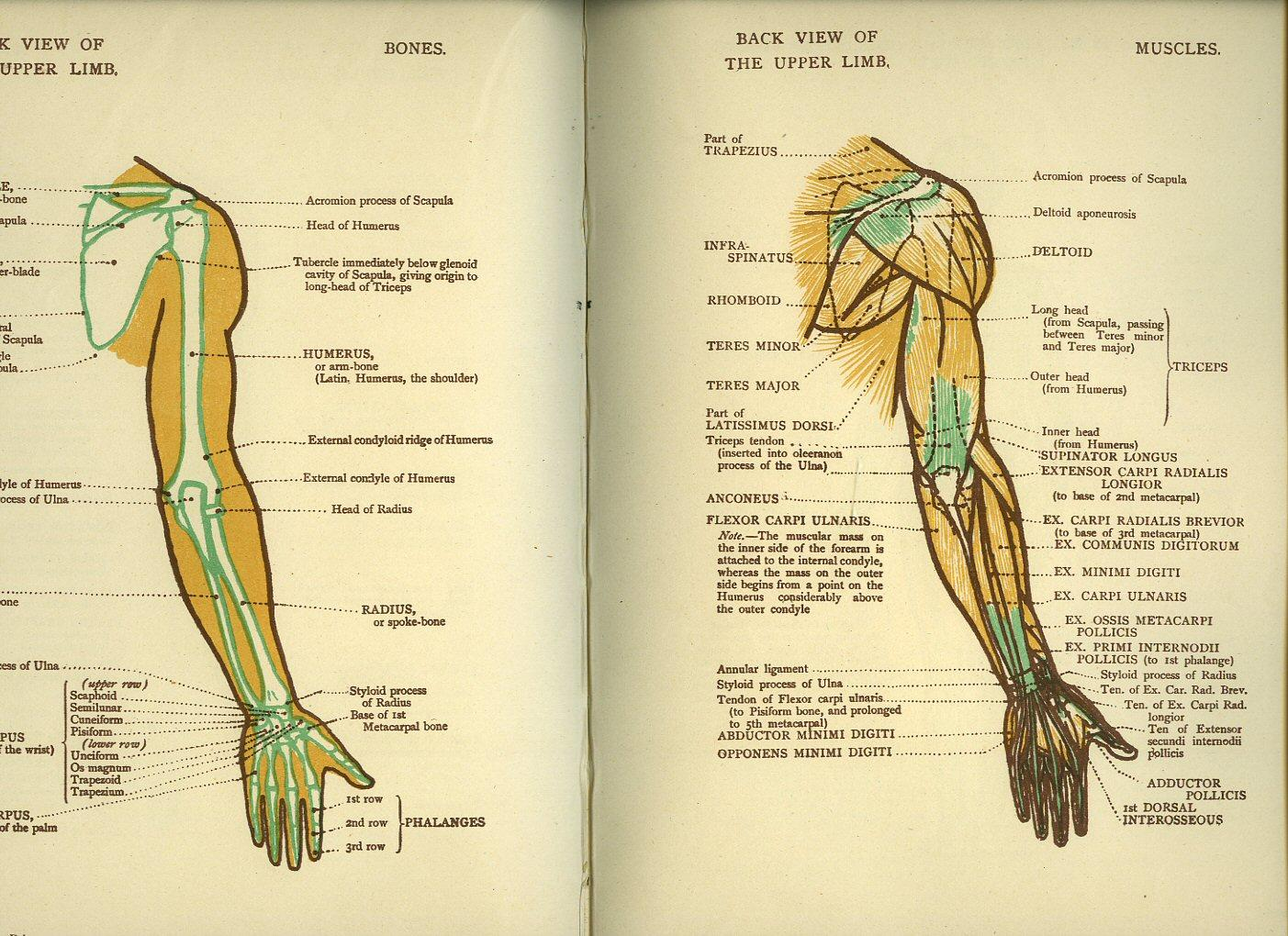 Anatomical Diagrams For The Use Of Art Students 1 By Dunlop James
