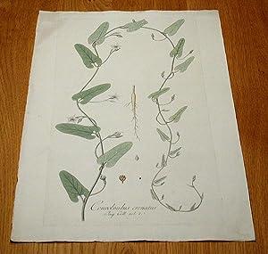 """Convolvulus crenatus. Kolorierter Kupferstich aus """"Icones Plantarum Rariorum"""".: Jacquin, ..."""