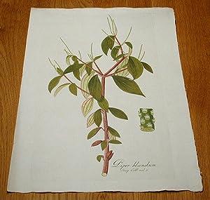 """Piper blandum. Kolorierter Kupferstich aus """"Icones Plantarum Rariorum"""".: Jacquin, ..."""