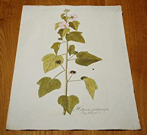 """Hibiscus pentacarpos. Kolorierter Kupferstich aus """"Icones Plantarum Rariorum"""".: Jacquin, ..."""