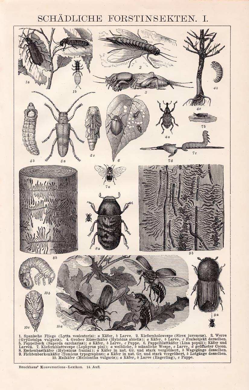 Alter historischer Druck Schädliche Forstinsekten I. Holzstich 1892