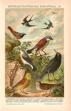 Alter historischer Druck Stubenvögel II Chromolithographie 1908