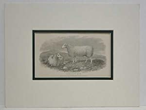Cheviot Ewe Sheep Print