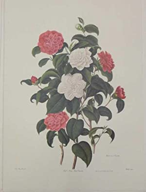 Myrtle Leaved Camelia, Lithograph Print