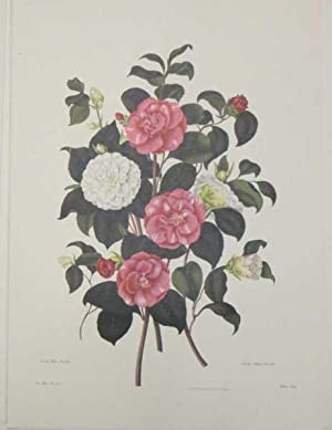 Double White & Double Striped Camelia, Lithograph Print