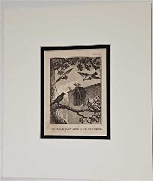 The Jackdaw and the Pigeons C18th Aquatint engraving print Fable150