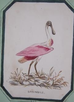 Album of Original Watercolored Drawings of Birds, Mammals and Insects Drawn from the Museum at ...
