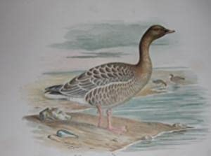 The Geese of Europe and Asia Being a Description of Most of the Old World Species With Twenty-Four ...