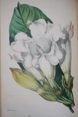Paxton's Magazine of Botany, and Register of Flowering Plants Volume the Thirteenth: Paxton, ...