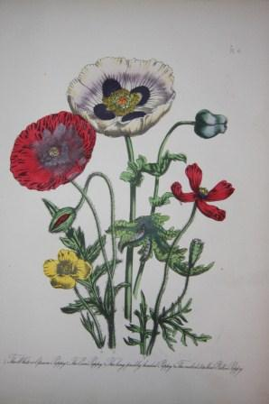 British Wild Flowers: Loudon, Mrs. [Jane