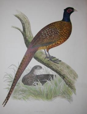 British Game Birds and Wildfowl. Illustrated with Sixty Coloured Plates.: Morris, Beverley R.