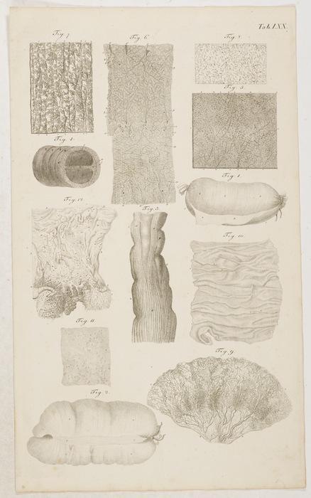 Anatomische Tafeln: Die Muskelhaut des Darms; Die Langenfasern des ...