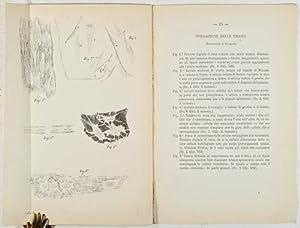 Sulla struttura del tessuto tendineo del prof.: Bizzozero, Giulio