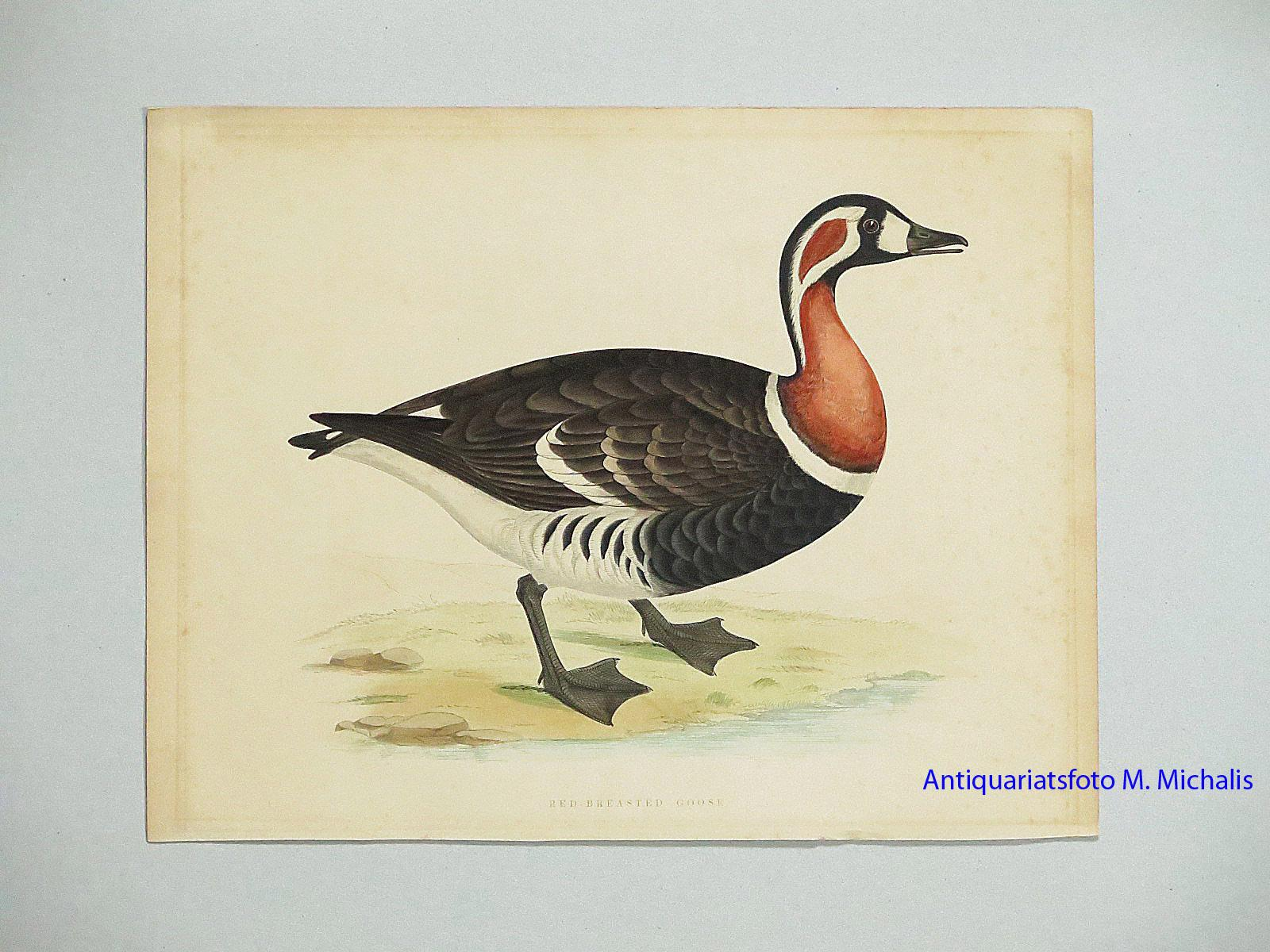 RED-BREASTED GOOSE. - An Original Antique Hand Coloured Print, ca. 1840. Large format: plate mark 11.6 x 8.7 Ins. Fawcett, B. [Fine] (bi_19445905163) photo