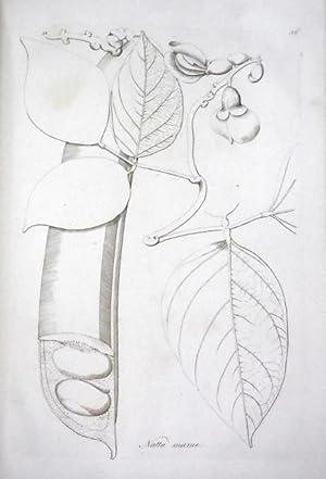 Icones Selectae Plantarum, quas in Japonia collegit et delineavit Engelbertus Kaempfer, ex ...