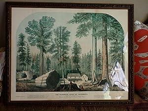 The Mammoth Trees of California (Calaveras County.: BIG TREES). STILLMAN,