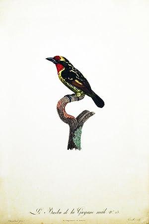 Le Barbu de la Guyane, hand-colored engraving (20.5 x 13.5 inches).: Barraband, J.