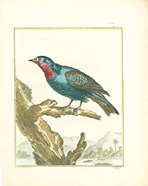 Grive d'Amérique nommée Quereiva (American thrush) Hand-Colored Plate with ...