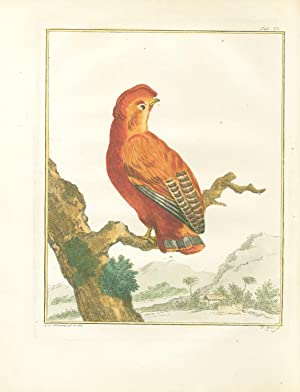 Coq-des-roches Américain (Cock of the Rock) Hand-Colored Plate with complete text: Vosmaer, ...