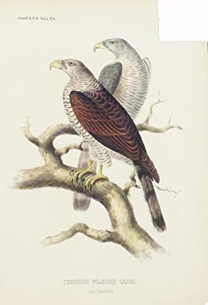 Hawk from Cuba (Cymindis Wilsonii Cassi.) Hand-Colored Plate: Cassin, John and Bowen, J. T.