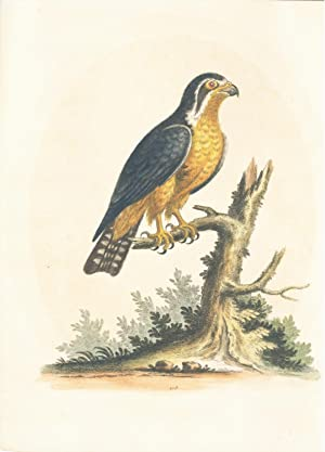 Little Black and Orange Indian Hawk Hand-Colored Plate: Edwards, George