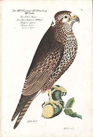 Kestrel Hand-colored Copper Engraving: Frisch, J. L.