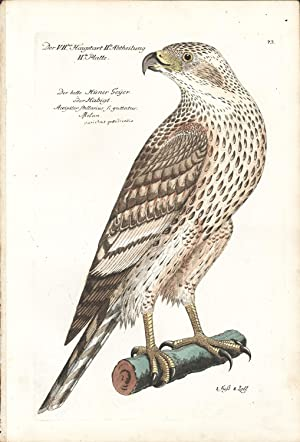 Kite Hand-colored Copper Engraving: Frisch, J. L.