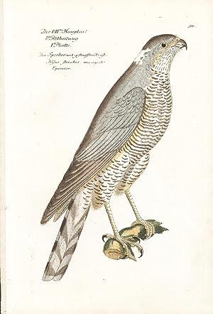 Sparrow Hawk Hand-colored Copper Engraving: Frisch, J. L.