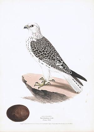 Jer Falcon (Falco Islandicus) Hand Colored Plate: Meyer, H.L.
