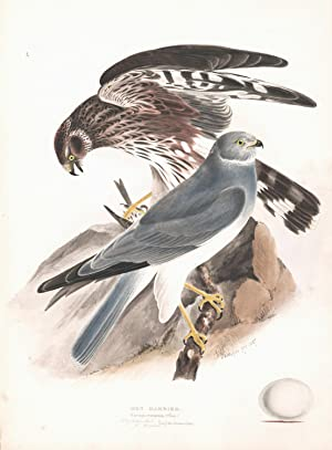 Hen Harrier (Circus cyaneus) Hand Colored Plate: Meyer, H.L.