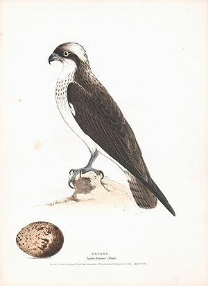 Osprey (Aquila haliaetus) Hand Colored Plate: Meyer, H.L.