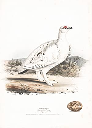 Ptarmigan (Tetralagopus) Hand Colored Plate: Meyer, H.L.