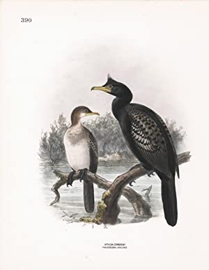 African Cormorant (Phalacracorax africanus) Dresser Hand Colored Plate: Dresser, H. E. and ...