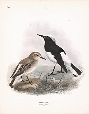 Hooded Chat (Saxicola monacha) Dresser Hand Colored Plate: Dresser, H. E. and Keulemans, J. G.
