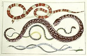 Snakes, TOMUS II, TABULA XXVII.: Seba, Albertus