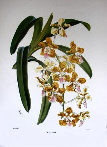 Select Orchidaceous Plants 1862. Warner (Robert.)