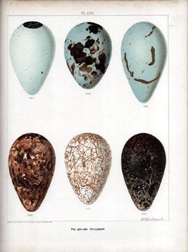 Birds' Eggs of the British Isles.: Butler (A.G.) &