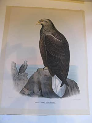 HALIAETUS ALBICILLA (The White Tailed Eagle - or the Sea Eagle) one print from- THE NEW AND HERET...