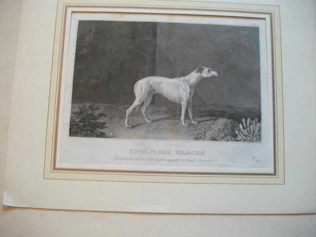 Englische Bracke. (Portrait of William, the property: Ward, James